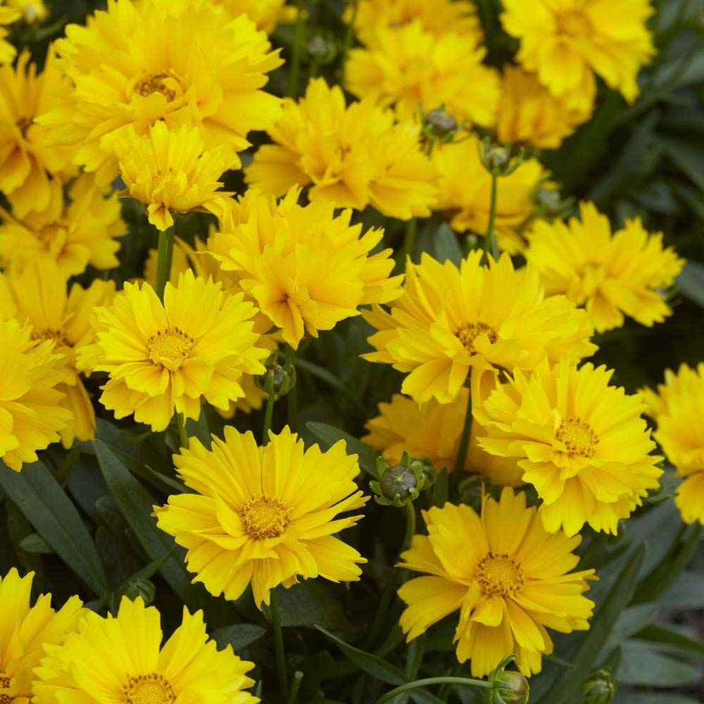 Coreopsis Grandiflora Flowers By Color Pinterest Perennials