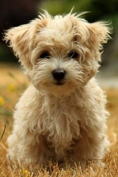 West Highland Terrier Brown R Aww Cute Puppies Animals Dog Wallpaper