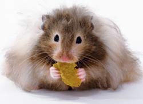 Critter Corner Teddy Bear Hamsters Bear Hamster Hamster Cute Hamsters