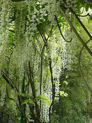 La glycine blanche dans jardin de monet jardin jardins for Jardin botanique paris