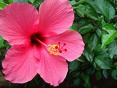 Hibiscus Easiest Flowers To Grow Planting Flowers Hibiscus