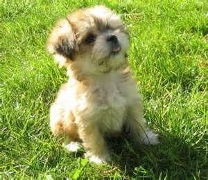 cutest lap dog