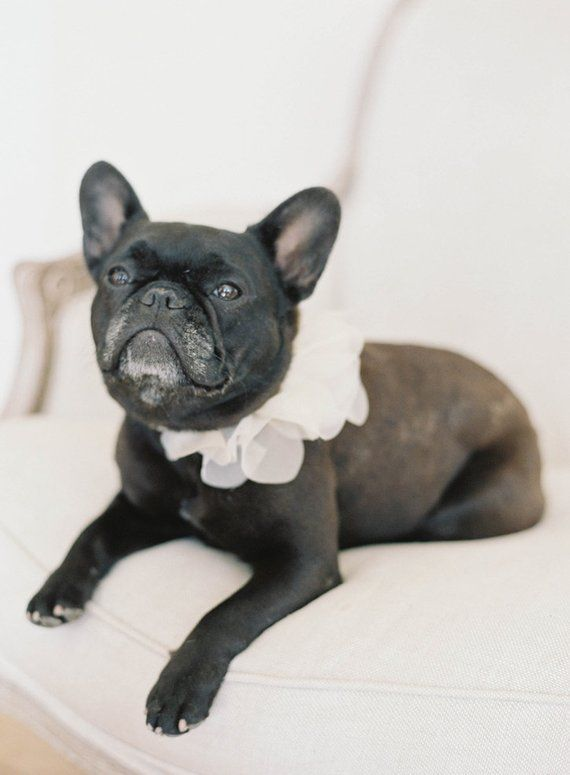 Floral Ruff Collar For Your Dog Wedding Worthy Wedding Dog