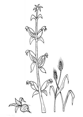 Coloring Page Beet Corn Grain Corn Grain Coloring Pages Color