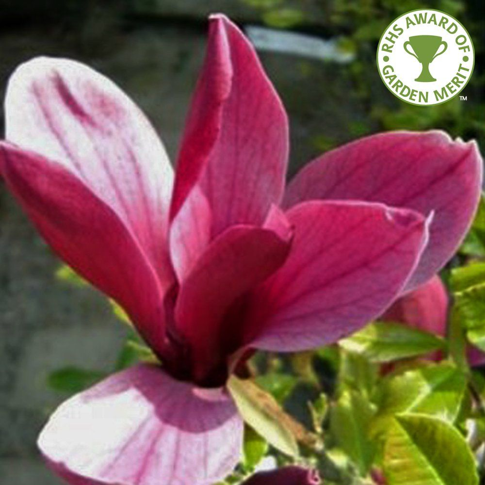 Magnolia Liliiflora Nigra | Purple Magnolia Trees ...