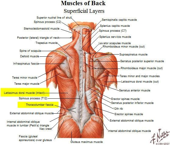 muscles back rib cage - Google Search | Health & Beauty ...