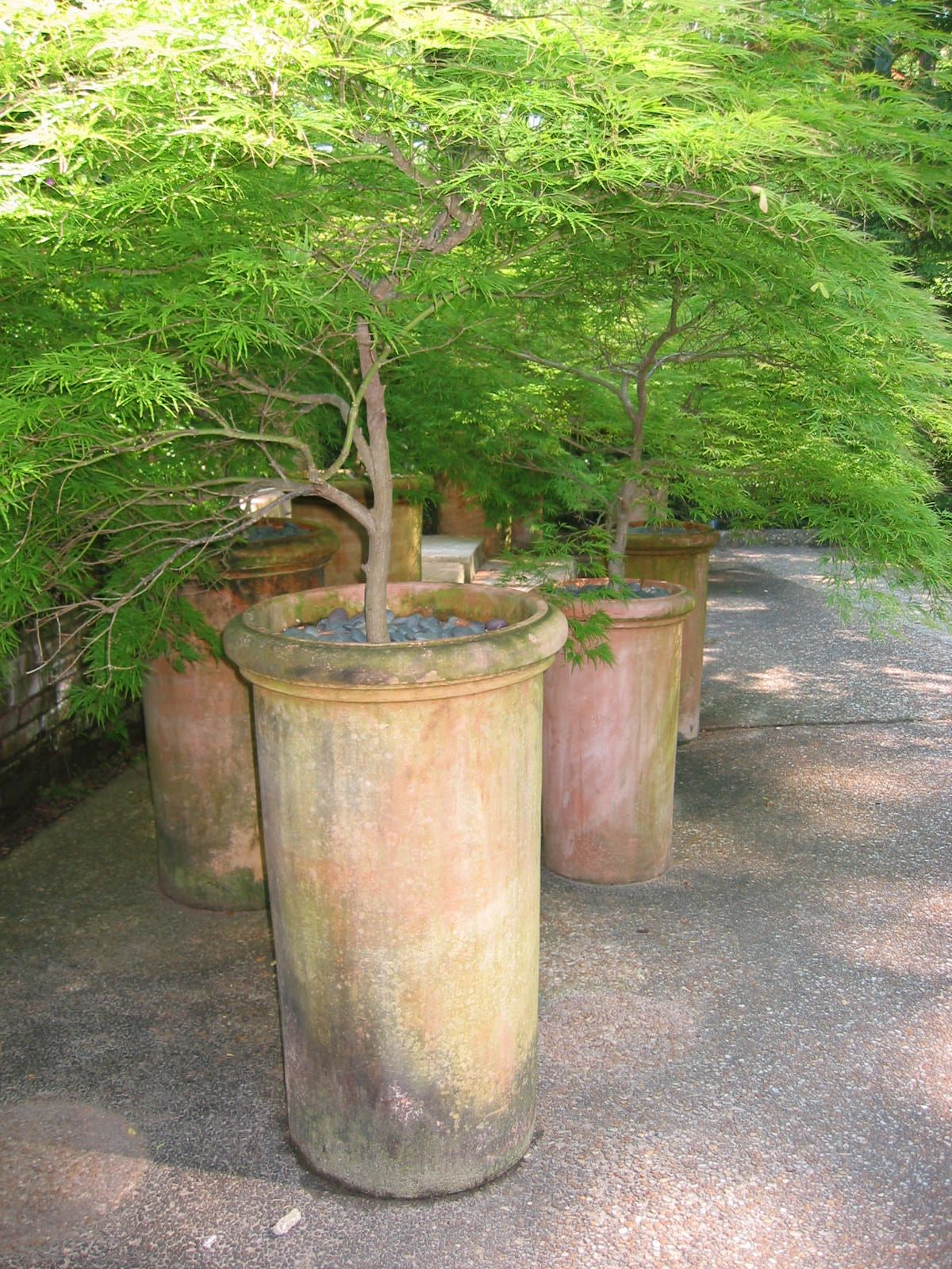 Japanese dwarf maples in great clay pots Container