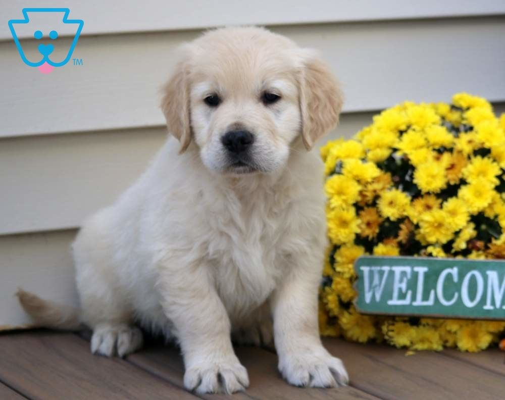Noodle Retriever Puppy Puppies Puppies For Sale