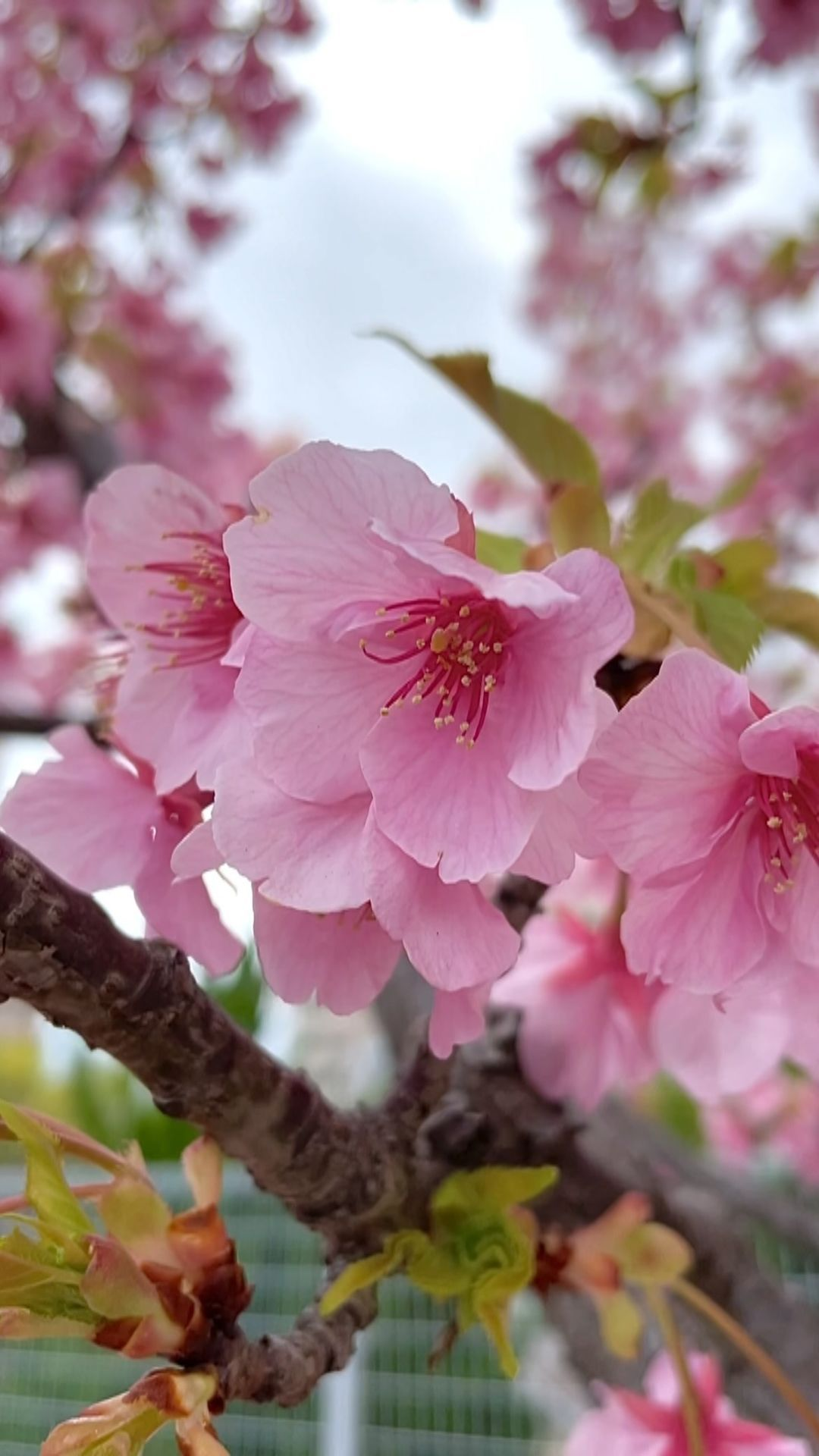 Imen Jebri On Instagram Early Sakura Blossoms In Kobe Japan These Flowers Are The Most Beautiful Thing You Can Picture In J In 2021 Japan Spring Flowers Blossom