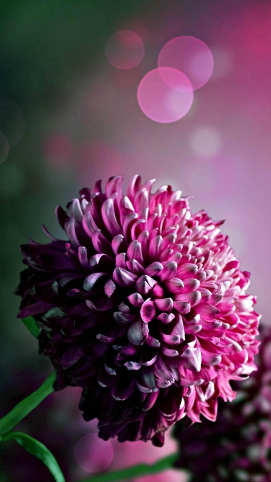 1440x2630 Chrysanthemums Flowers Bouquet Wallpaper Flower Wallpaper Purple Backgrounds Wallpaper