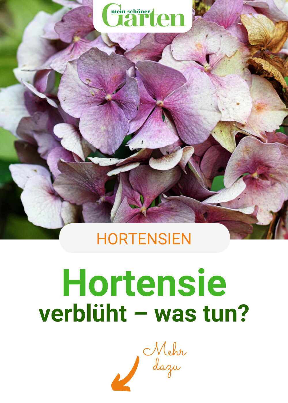Hortensie verblüht – was tun?