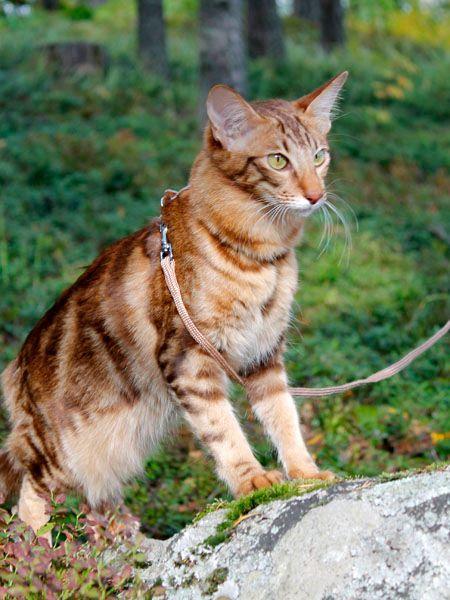 Daisy Fi Crimsonette S Lazy Spinner Chocolate Classic Tabby Oriental Longhair Oriental Shorthair Cats Cats Unique Cats