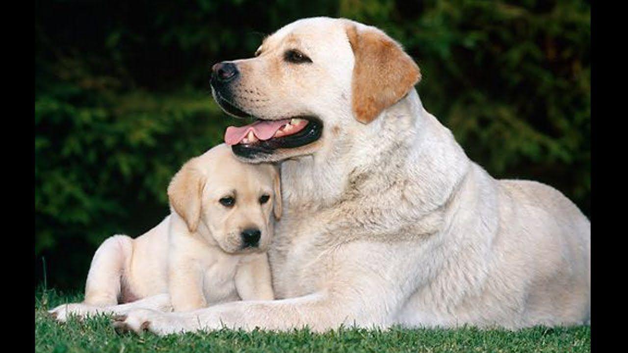 Labrador Retriever Puppies Funny and Cute Videos