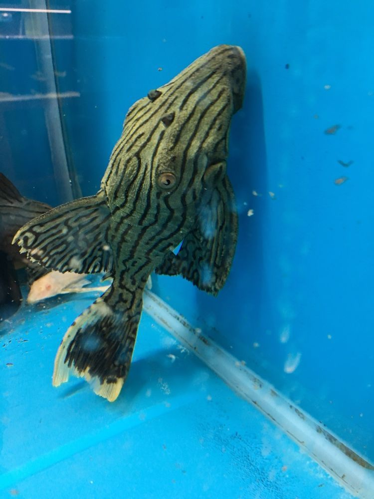 L418 Peru Green Shamper Panaque 6 7 Inches Live Fresh Water Fish Plecostomus Catfish Tropical Fish