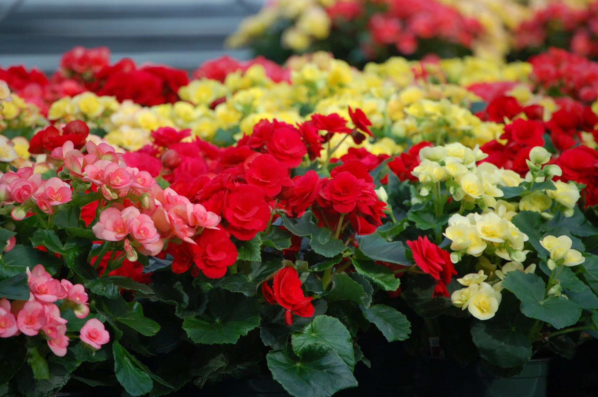 Darvonda Nurseries Annuals Plant Care Annual Plants Begonia