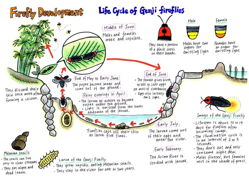 Firefly Life Cycle | Click here to enlarge