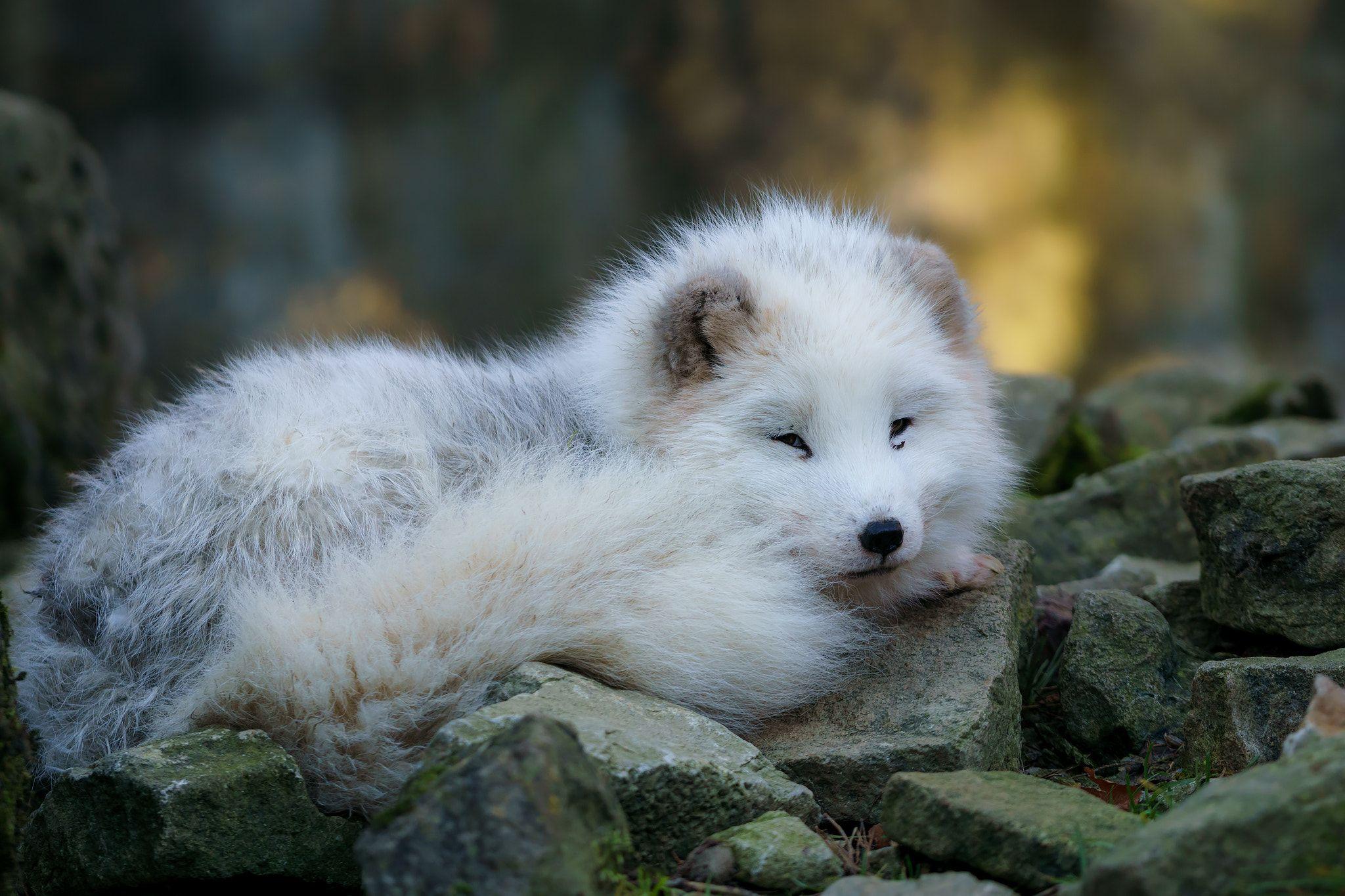 Arctic Fox (Polarfuchs) Bad Mergentheim, Germany