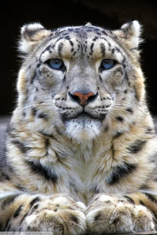 Free Download Adorable Snow Leopard Images 1920x1080 Wallpaper 43 Wallpapers