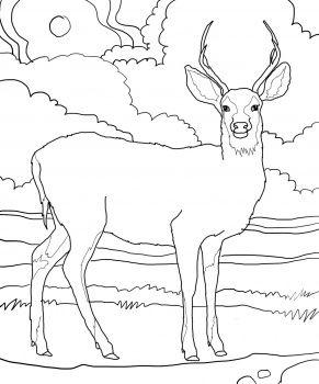 Mule Deer Coloring Page Super Coloring Deer Coloring Pages
