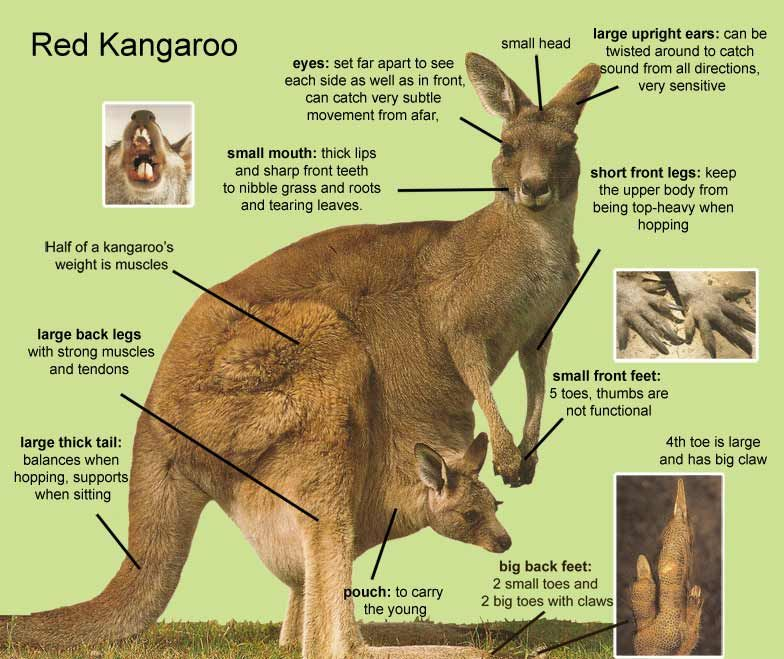 kangaroos Kangaroo, Kangaroo facts, Kangaroo facts for kids