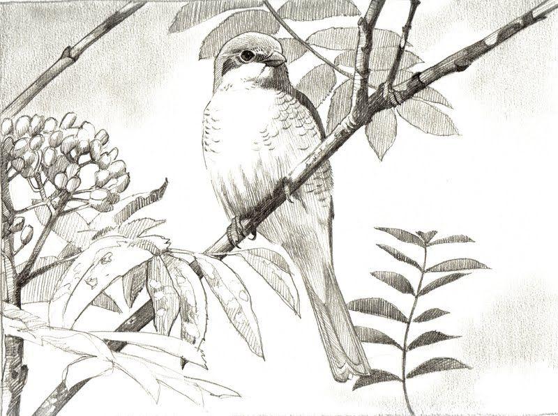 Bird Drawings And Paintings Old Drawings Bird Drawings Bird Art Drawings