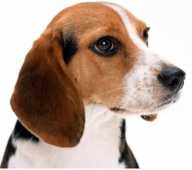 Beagle Facts Beagle Dogs Beagle Puppy Beagle Dog Breed
