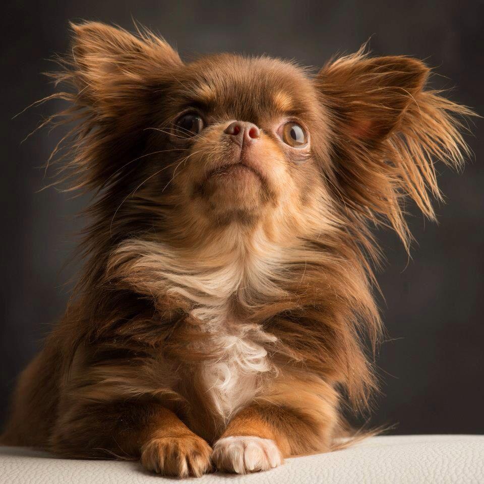 Pin By Nicole Pekarek On Nicole Pekarek Chihuahua Puppies Chihuahua Dogs Pets