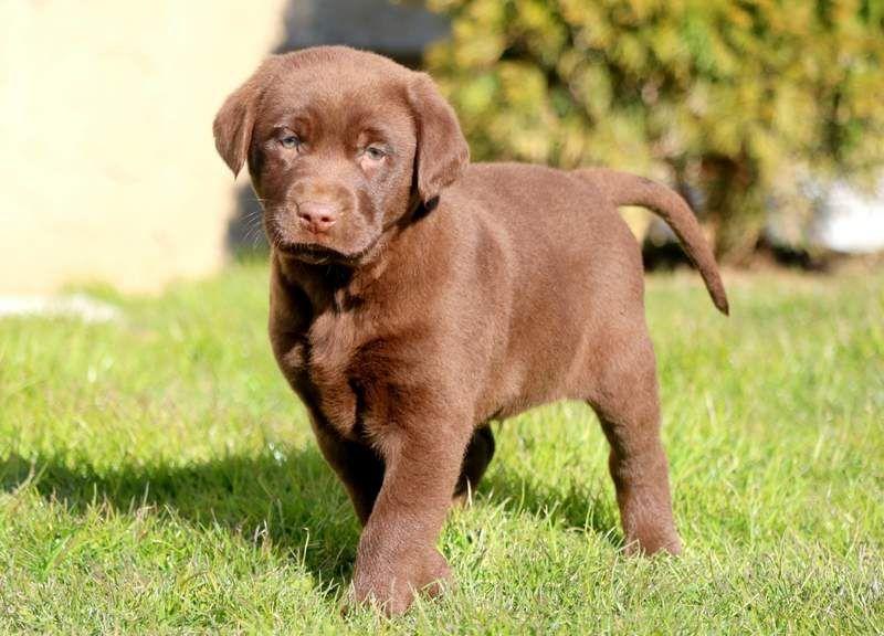 Freddie Keystone Puppies Puppies For Sale Health Guaranteed Chocolate Lab Keystonepuppies Labrador Retriever Labrador Retriever Puppies Labrador