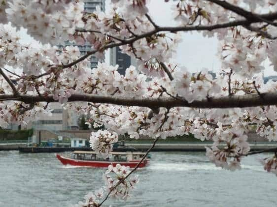 Sumida Park Between The Azumabashi And Sakurabashi Bridges Is A Great Place To Have A Hanami Cherry Blossom Viewing Party There Are 640 Cherry Blossom Trees An