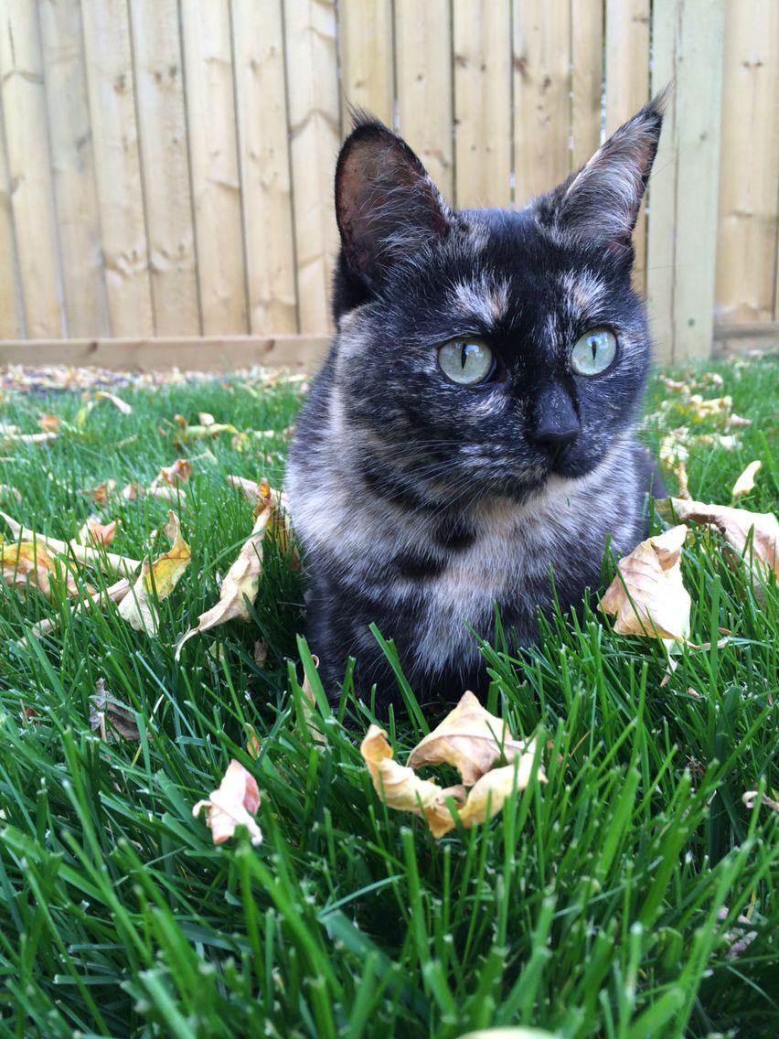Beautiful tortoise shell cat #tortie