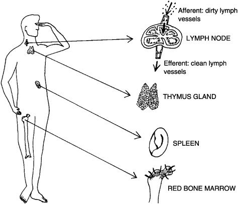 """Immune and Lymphatic Systems: """"The Best Survival Offense"""
