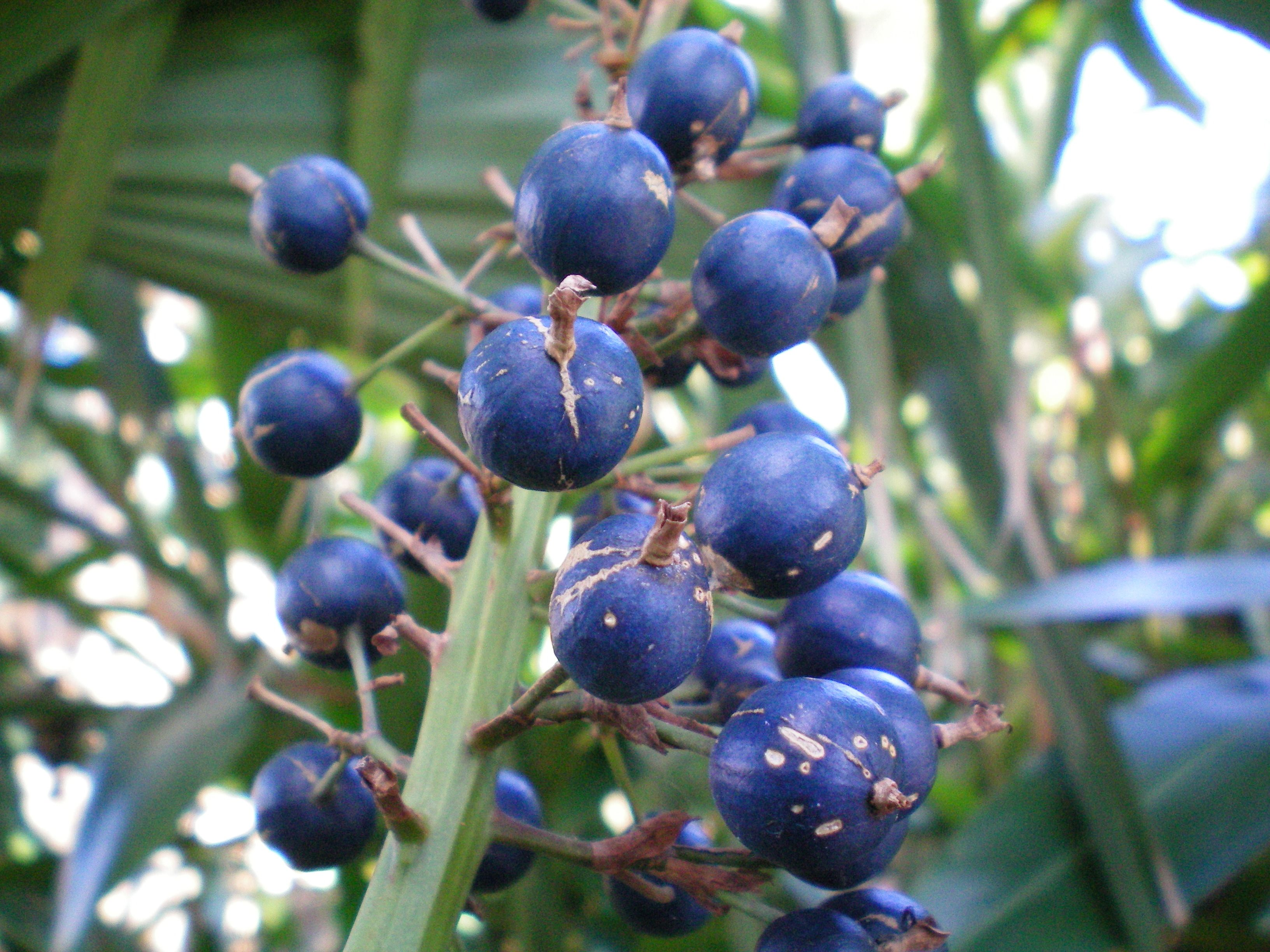 blue berry ginger, found in coastal rainforests in eastern