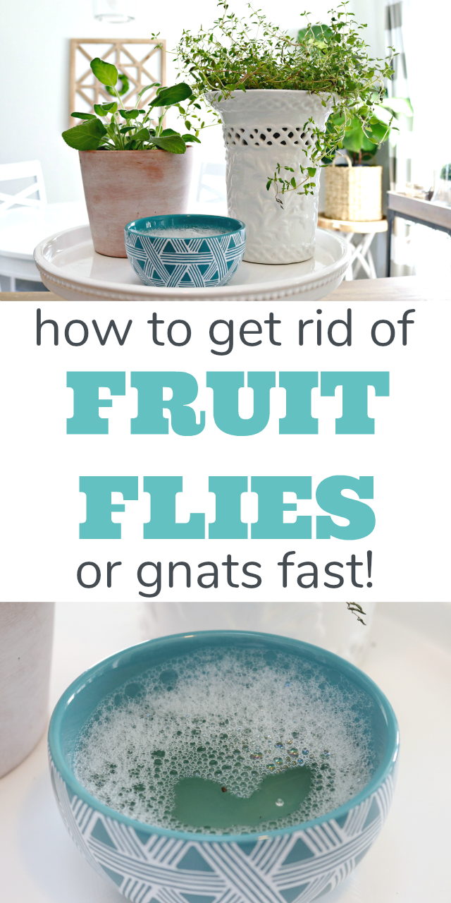 How to get rid of fruit flies or gnats fast natural remedies