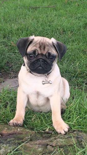 14 Weeks Old Louie C Nicola Morgan Tag A Dog Lover 3 Pug Pugs