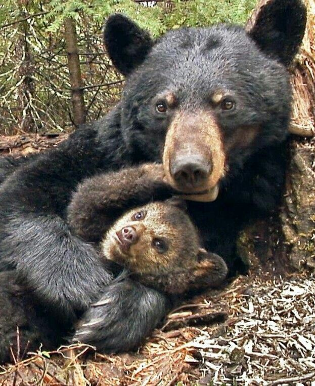 Gorgeous Black Bear and Cub Sharing a Tender Moment!