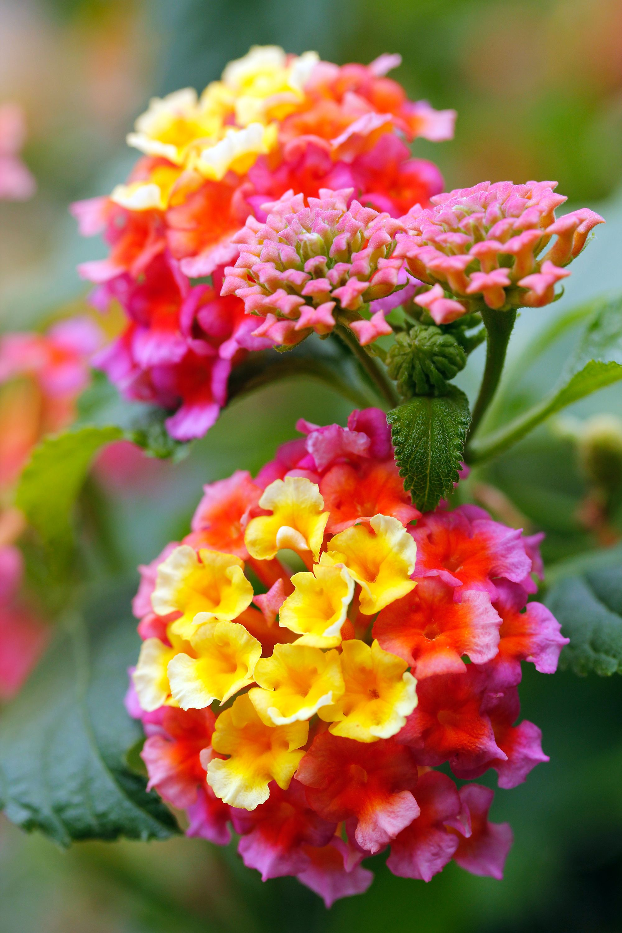Lantana Flowers In Yellow Orange And Pink Colors F5 Jpg 2000 3000 Flores Flores Naturais Belas Flores