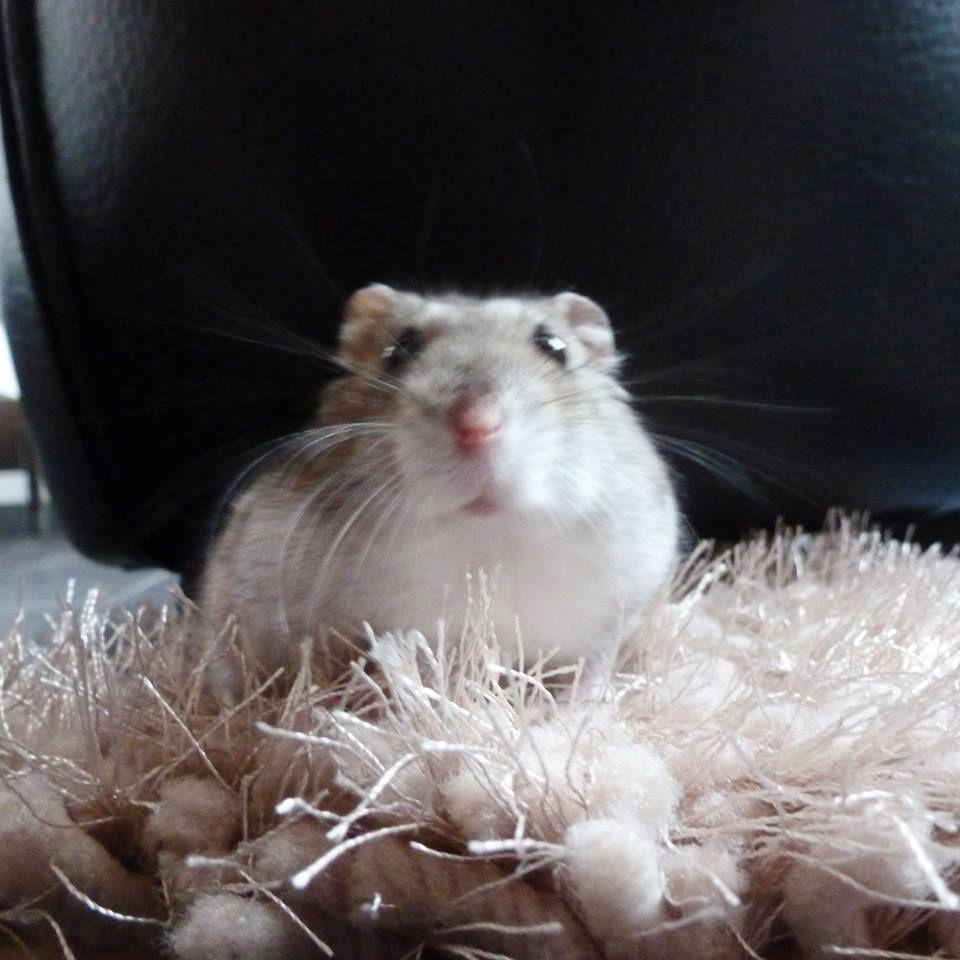 Même tout petit, chacun son tapis ! Ici Caramel vérifie la longueur des poils du tapis polaire shaggy