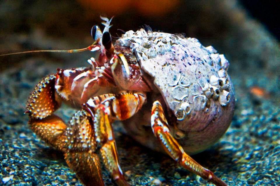 Раки-отшельники обитают в приливно-отливной зоне и на мелководьях морей до 80 метров.
