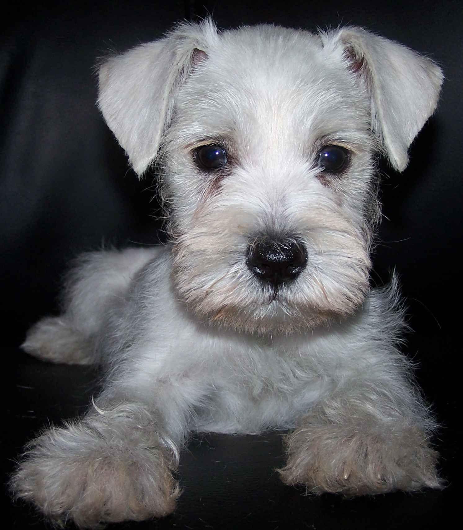 Cute Puppy Dogs White Miniature Schnauzer Puppies Schnauzer Puppy White Miniature Schnauzer White Schnauzer