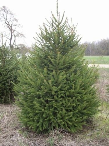 norway spruce want i love trees always have christmas time just gives me an excuse to love trees more i am drawn to the spruce species balsam