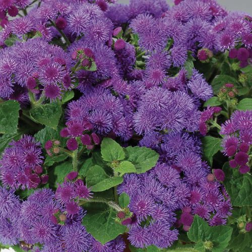 Artist Blue Flossflower Ageratum Hybrid Proven Winners Plants Dream Garden Mosquito Repelling Plants