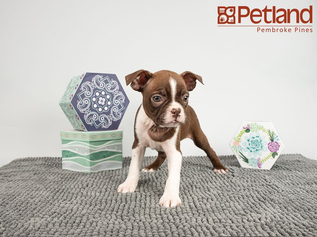 Petland Florida has Boston Terrier puppies for sale