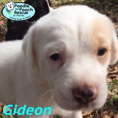 Adopt Reyna On Petfinder Labrador Puppy Chocolate Labrador Retriever Chocolate Labrador
