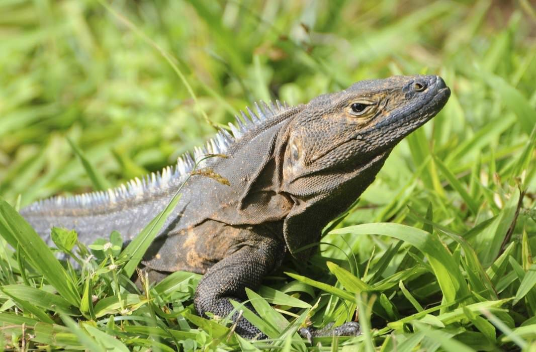 Black spiny-tailed iguana at Parque Nacional Coiba. Panama.