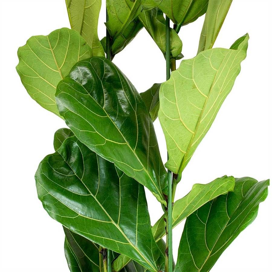 Ficus lyrata Fiddle Leaf Fig Ficus, Fiddle leaf fig