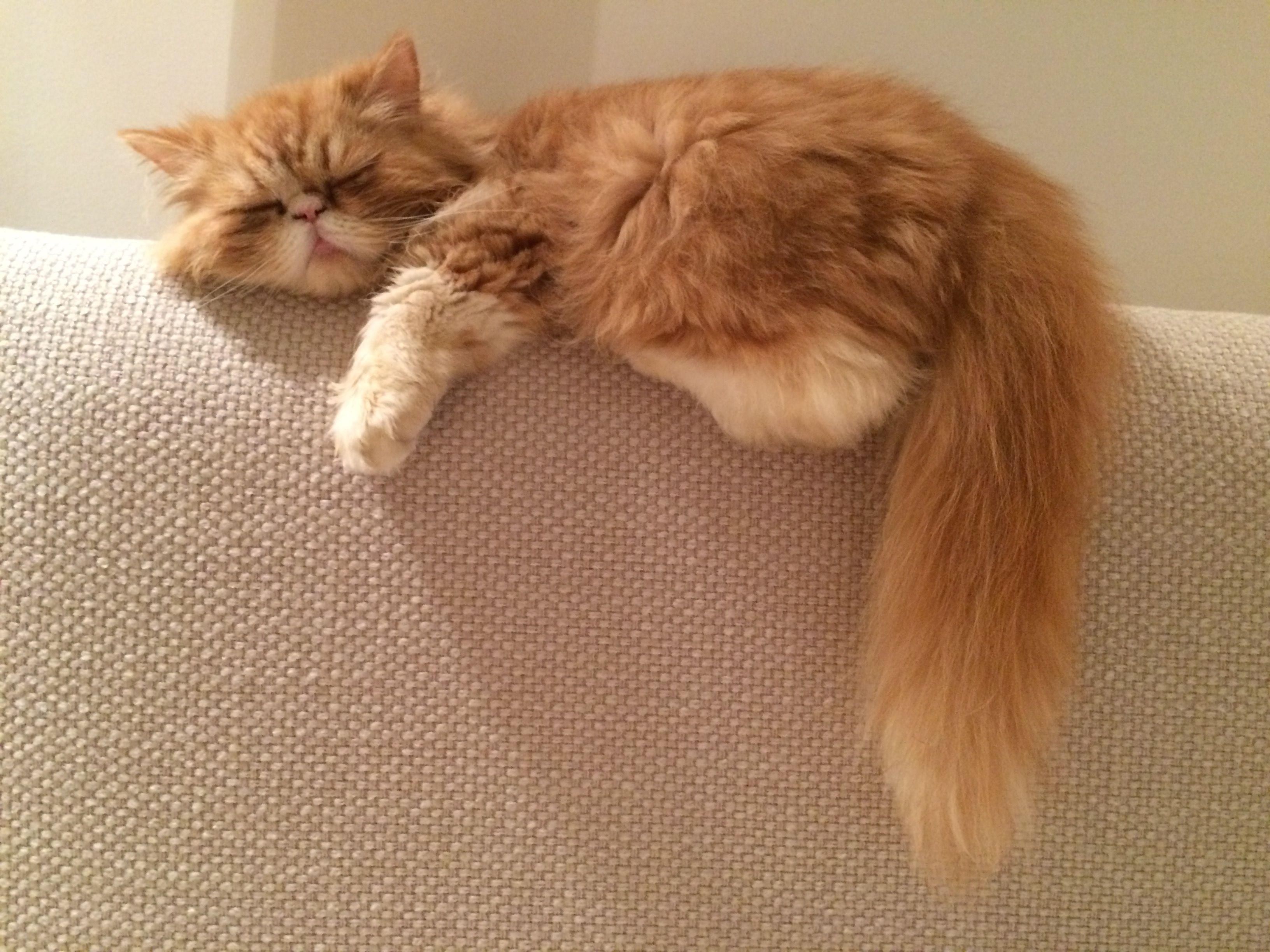 Solomon Carrot Cat | Pawshake