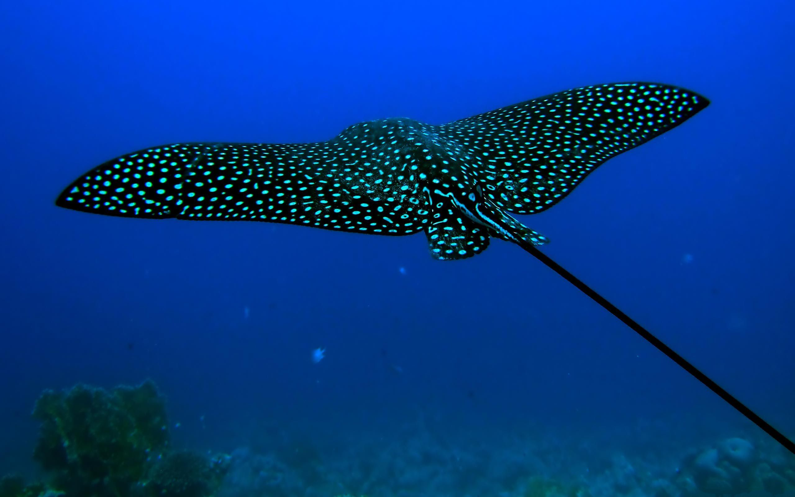 Stingray Fish The Mysterious Stingray Fish Hd Wallpapers