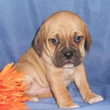 Puggle Breeders New Jersey Puggle Breeders Puppies Pugs Dogs