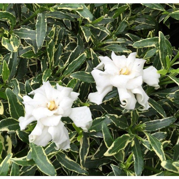 Variegated Dwarf Gardenia Gardenia Radicans Variegata It Only
