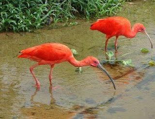 Garca Amazonica Passaros Brasileiros Animais Brasileiros Pantanal Brasileiro